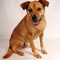 Adopt A Pet :: Chance (Marley) Terrier - St. Louis, MO