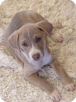 Labrador Retriever Mix Puppy for adoption in Westport, Connecticut - Ridge