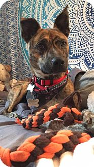 Feist Mix Dog for adoption in kennebunkport, Maine - Zula - in Maine