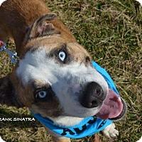 Adopt A Pet :: Frank Sinatra - Independence, MO