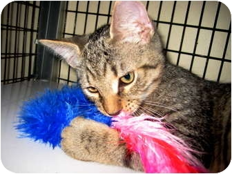 Domestic Shorthair Cat for adoption in Deerfield Beach, Florida - Carson & Koi