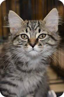 Maine Coon Kitten for adoption in Harrisburg, North Carolina - Purrr- Fection