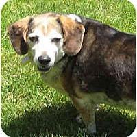 Adopt A Pet :: Pal - Novi, MI