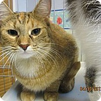 Adopt A Pet :: Ginger - Sterling Hgts, MI