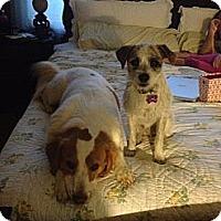 Adopt A Pet :: Buck - Richmond, VA