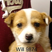 Adopt A Pet :: Will - baltimore, MD