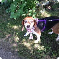 Beagle Dog for adoption in Iroquois, Illinois - Daisy Mae