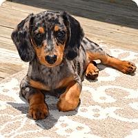Adopt A Pet :: *Frannie - PENDING - Westport, CT