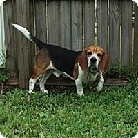 Adopt A Pet :: Jack - Fort Lauderdale, FL
