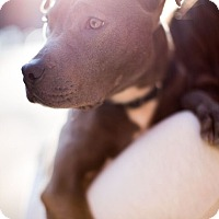 Adopt A Pet :: Ollie - Reisterstown, MD