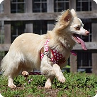 Adopt A Pet :: Rose - Penngrove, CA