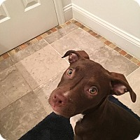 Pit Bull Terrier Mix Puppy for adoption in Durham, North Carolina - Ruby Tuesday