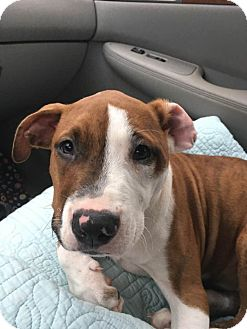 Pit Bull Terrier Mix Puppy for adoption in Durham, North Carolina - London