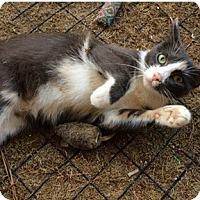 Adopt A Pet :: Bella - N. Billerica, MA