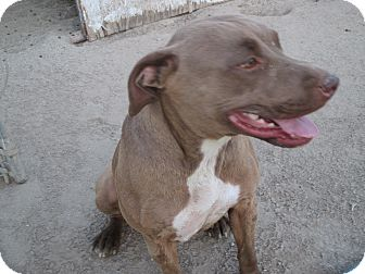 Pit Bull Terrier Mix Dog for adoption in Lancaster, California - Cindy