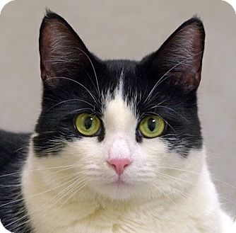 Domestic Shorthair Cat for adoption in Norwalk, Connecticut - Miss Kitty