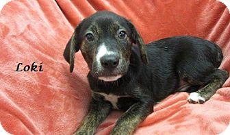 Labrador Retriever/Boxer Mix Puppy for adoption in Bartonsville, Pennsylvania - Loki