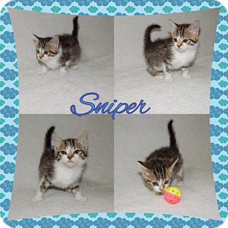 Domestic Shorthair Kitten for adoption in Buffalo, Indiana - Sniper