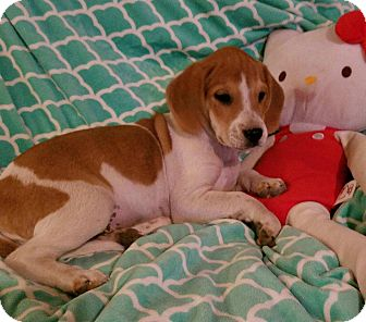 Beagle Mix Puppy for adoption in Manchester, New Hampshire - Bill - pending
