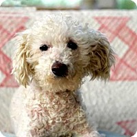 Poodle (Miniature) Mix Dog for adoption in Hagerstown, Maryland - KALANI