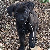 Adopt A Pet :: Xena - Adoption Pending - Centreville, VA