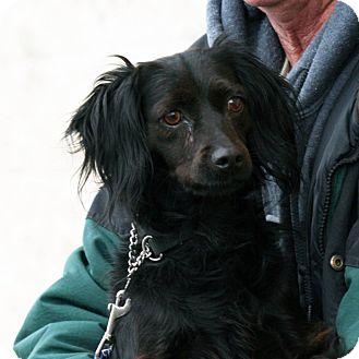 Spaniel (Unknown Type) Mix Dog for adoption in Palmdale, California - Rosie