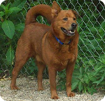 Chow Chow/Labrador Retriever Mix Dog for adoption in Fennville, Michigan - Dudley