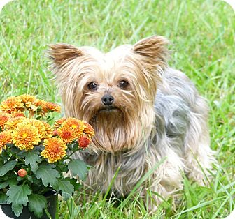 yorkie for adoption in nc wadlynn adopted dog mocksville nc yorkie yorkshire 9890