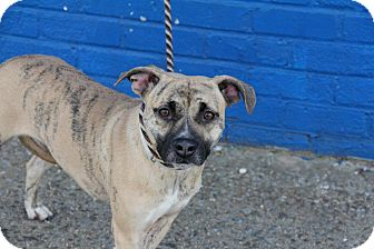 American Staffordshire Terrier/Terrier (Unknown Type, Medium) Mix Dog for adoption in Long Beach, New York - Hazel