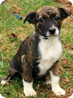 Boxer/Labrador Retriever Mix Puppy for adoption in Windham, New Hampshire - Kathryn