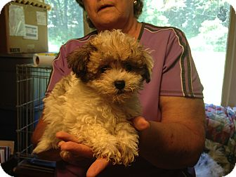 Poodle (Miniature)/Shih Tzu Mix Puppy for adoption in Hazard, Kentucky - Mopsy