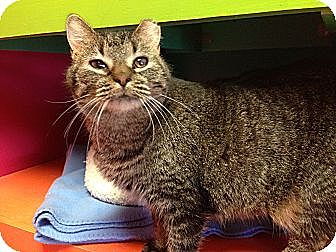 Domestic Shorthair Cat for adoption in Topeka, Kansas - Max
