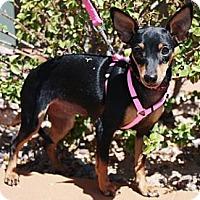 Adopt A Pet :: Roxis - Gilbert, AZ