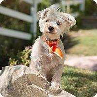 Adopt A Pet :: Scout - Sherman Oaks, CA