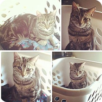 American Shorthair Cat for adoption in Monrovia, California - Tori