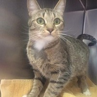 Domestic Shorthair Cat for adoption in Sherman Oaks, California - Blue - FeLV positive