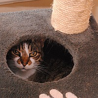 American Shorthair Cat for adoption in Middletown, New York - Dipps