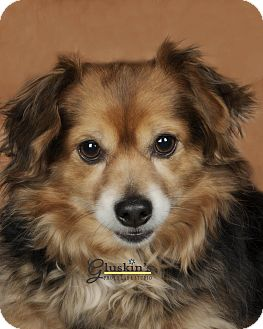 Dachshund/Chihuahua Mix Dog for adoption in Lodi, California - Willy (2)