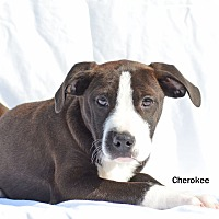 Adopt A Pet :: Cherokee - Old Saybrook, CT