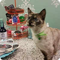 Siamese Cat for adoption in Austin, Texas - Freckles II