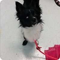 Adopt A Pet :: Skunky - Nashville, TN