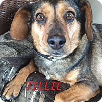 Adopt A Pet :: TILLIE- Courtesy Posting - Ventnor City, NJ
