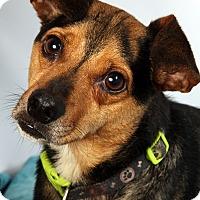 Adopt A Pet :: Diesel Dash Terr - St. Louis, MO
