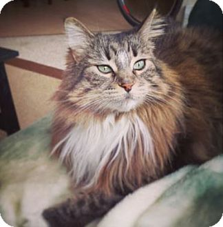 Maine Coon Cat for adoption in Las Vegas, Nevada - Izzy