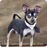 Adopt A Pet :: Pimpin - Las Vegas, NV