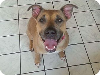 Pit Bull Terrier/Shepherd (Unknown Type) Mix Dog for adoption in Aurora, Ohio - Roxy