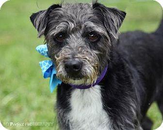 Schnauzer (Miniature)/Terrier (Unknown Type, Medium) Mix Dog for adoption in Miami, Florida - Rudy 2