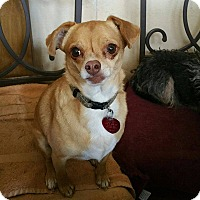Dachshund/Chihuahua Mix Dog for adoption in Tijeras, New Mexico - Herbie
