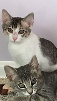 Domestic Shorthair Cat for adoption in Jacksonville, Texas - Ginnie