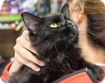 Maine Coon Kitten for adoption in Montclair, California - Ozzy